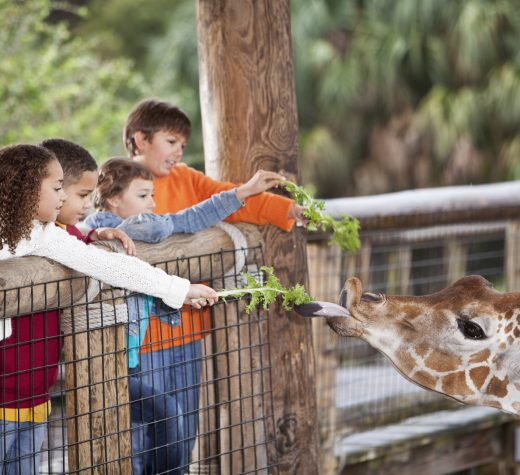 Multi-ethnic group of children at zoo feeding giraffe.  Focus on giraffe and the two children in foreground (mixed race, Caucasian and African American, 10-11 years).